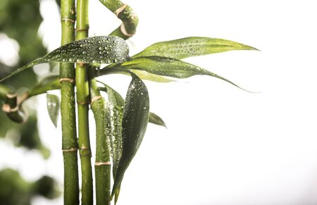 Grean bamboo leaves on a white background Stock fotó