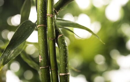 Grean bamboo leaves on a tropical leaves background