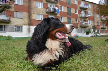 sennenhund: Dog breed Berner Sennenhund Stock Photo