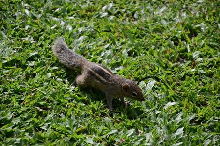 ardilla: Chipmunk en la hierba
