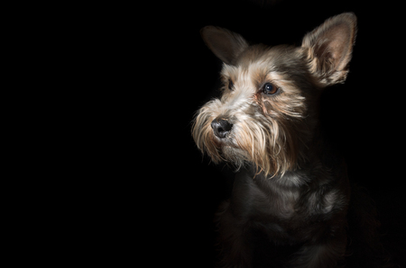 Yorkshire terrier dogs on a dark background