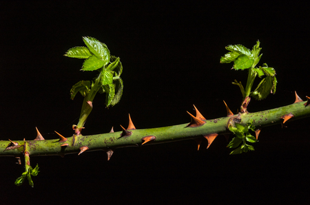 Branch of a rose with spines on which shoots of new shoots of green leaves