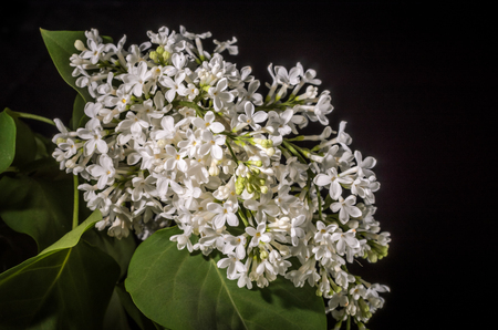 Branch with flowers of white lilac isolated on black background Standard-Bild
