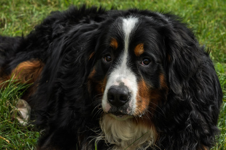 A dog of the Berner Sennenhund breed during a walk on the street