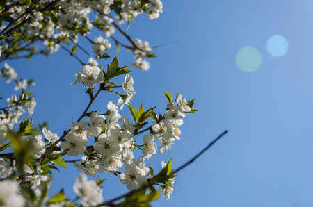 Cherry branches with blooming flowers in spring in the wind
