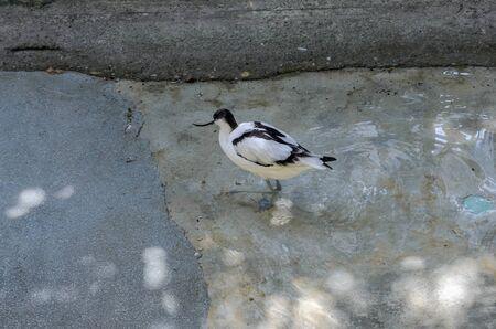 Little bird avocetta walks on water