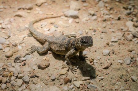 Lizard hunts in the wild