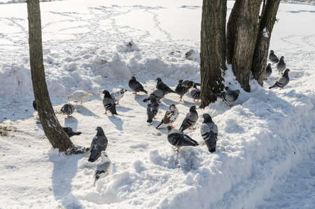 A flock of pigeons walking in the snow Archivio Fotografico