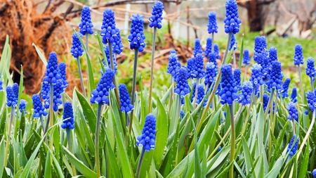 緑の背景に青の花ムスカリ