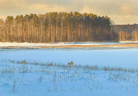 ノロジカが雪の中で放牧します。 写真素材