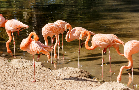 水の中のピンクのフラミンゴのグループ 写真素材