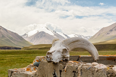Skull gornoshl sheep, mountains in the background. Kyrgyzstan, Tien Shan
