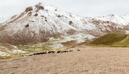 Yaks graze in the mountains. Kyrgyzstan, Tien Shan; Standard-Bild