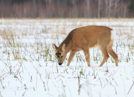 鹿 (Capreolus) のために写真の狩猟。冬の森。