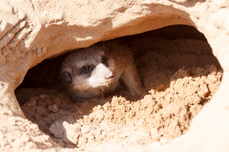 Meerkat looking out from a mink