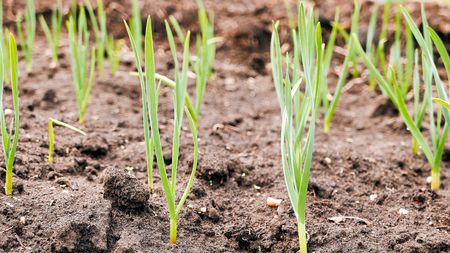 Young garlic on the garden bed