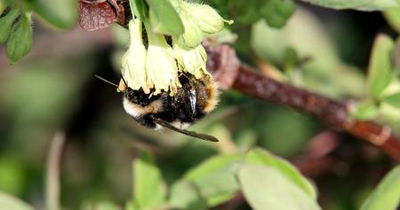 バンブルビーは、スイカズラの花を pollinates します。春