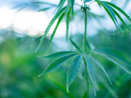 Bushes of marijuana on a plantation. The cultivation of medical cannabis.