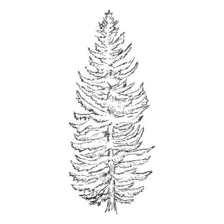 larch: Vector Single Sketch Pine Tree