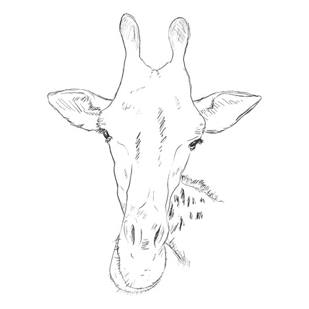 camelopard: Vector Sketch Giraffe Muzzle Illustration