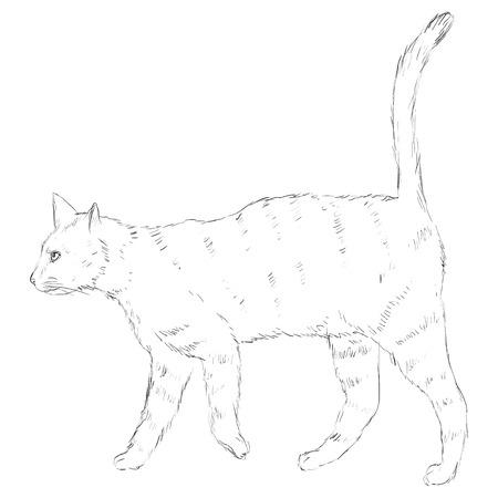 sketch: Vector Sketch Single Cat