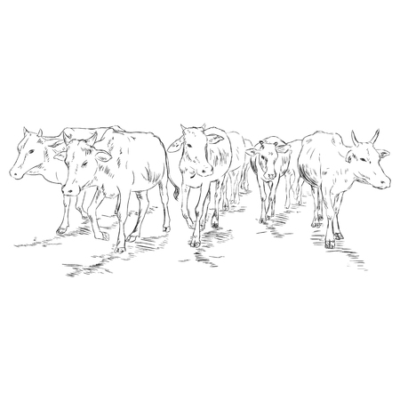 Vector Sketch Cow Herd