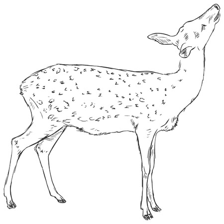dappled: Vector Sketch Dappled Deer Illustration