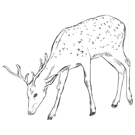 wild venison: Vector Sketch Dappled Deer Illustration