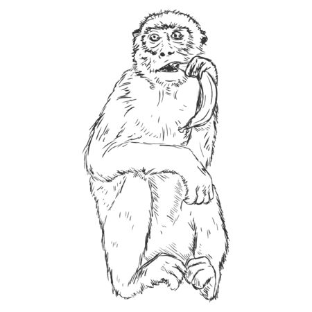Vector Sketch Monkey with a Banana Illustration