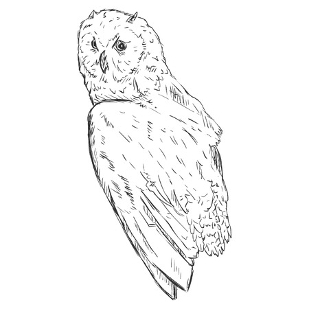 sapience: Vector Sketch Owl. Side View. Illustration