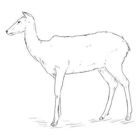 wild venison: Vector Single Sketch Deer