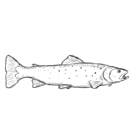 Vector Sketch Sea Trout on White Background