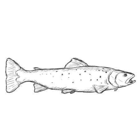 Vector Sketch Sea Trout sur fond blanc