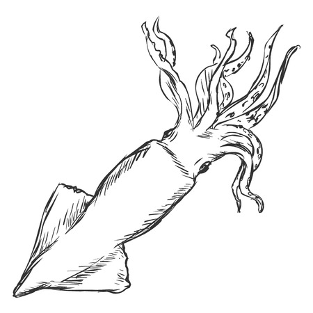 Vector Single Sketch Squid on White Background