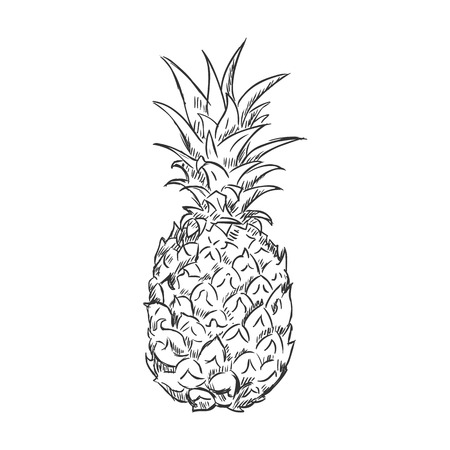 Vector Single Sketch Pineapple on White Background