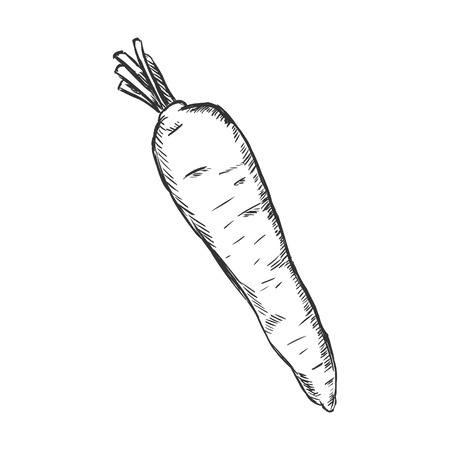 Vector Single Sketch Carrot on White Background