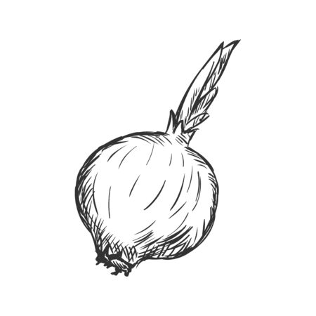 single sketch: Vector Single Sketch Onion on White Background