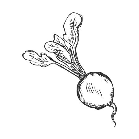 radish: Vector Single Sketch Radish on White Background Illustration