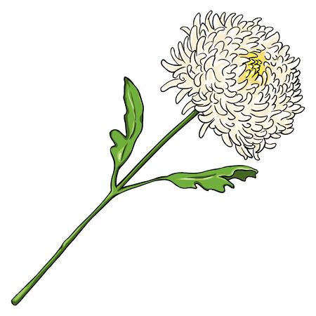Vector Cartoon Isolated Illustration - Chrysantemum on White Background