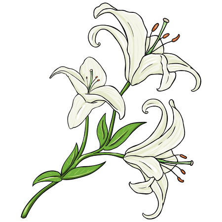 garden stuff: Vector Cartoon Isolated Illustration - White Lily on White Background