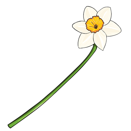 jonquil: Vector Cartoon Isolated Illustration - Narcissus on White Background Illustration
