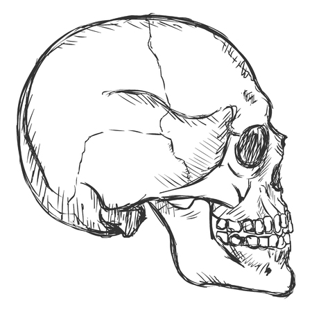 Vector Sketch Side View Skull on White Background