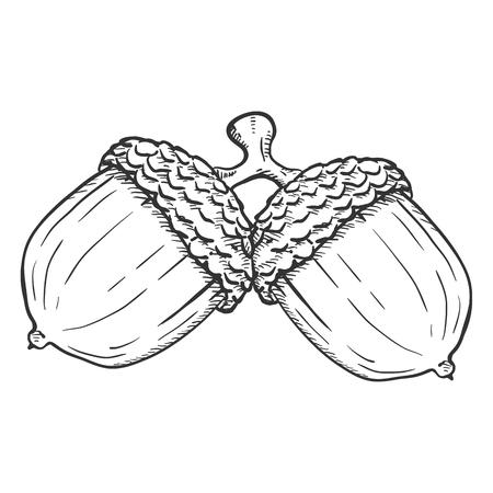 Vector ilustración de boceto dibujado a mano - par de bellotas en la misma rama Ilustración de vector