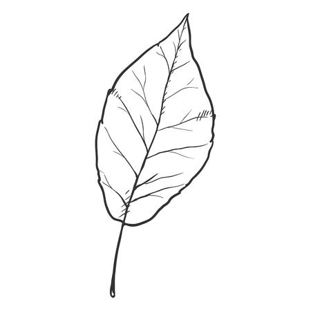 Vector Black Sketch Illustration - Leaf of Poplar