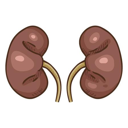 Vector Cartoon Human Kidneys. Anatomical Organ Illustration.