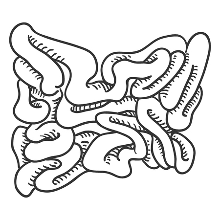Vector Sketch Human Small Intestine . Anatomical Organ Illustration.