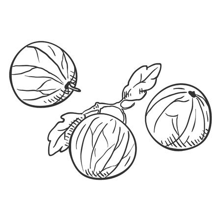 Vector Sketch Gooseberry Illustration