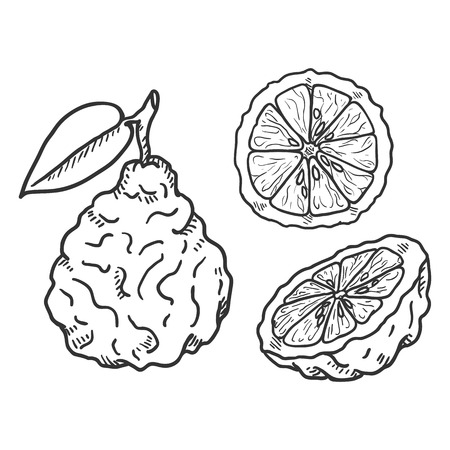 Vector Set of Sketch Bergamot Fruits. Whole, Peeled and Sliced Illustration