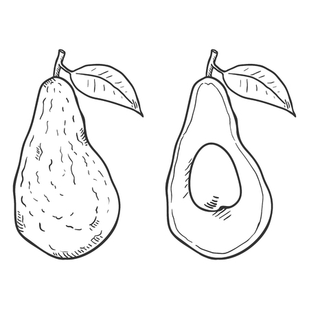Vector Sketch Avocado Fruit. Whole and Sliced.