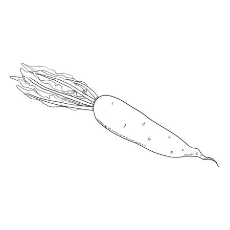 Vector Sketch Japanese Radish Daikon